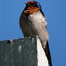 Welcome Swallow by Faith Barker Photography