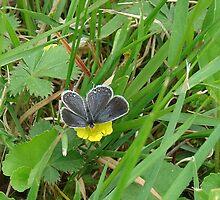 Butterfly on Buttercups by Brandy Bentz-Jackson