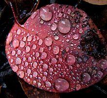 Dew on Eucalypt leaf - Wielangta Forest, Tasmania by Eve creative photografix