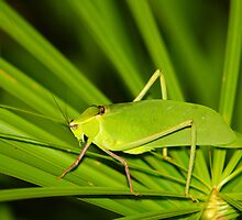 Grass Hopper  (Cuba) by jdmphotography