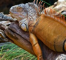 Iguana (Iguanidae) by Deborah V Townsend