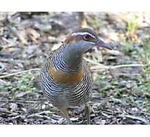Buff Banded Rail Photographic Print