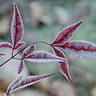 A frosted Nandina Domestica branch 2 by DebbyScott