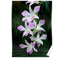 Soft Orchids Poster