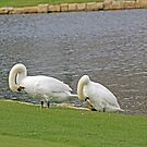 Two Swans Grooming by WeeZie