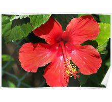 Stunning red (Cuba) Poster
