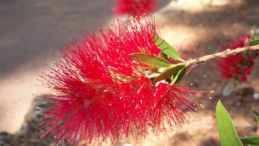 Australian flower by daffodil