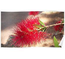 Australian flower Poster
