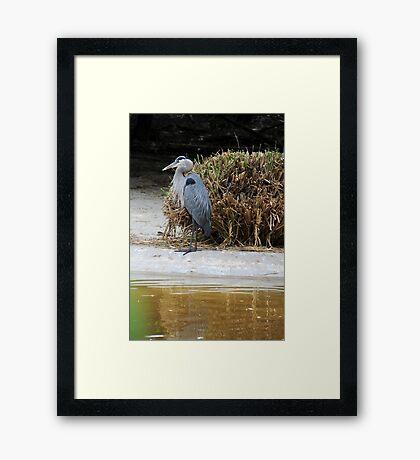 Great Blue Framed Print