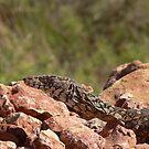 Perentie on the rocks by Darryl Beer