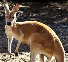 Red Kangaroo by Coralie Plozza