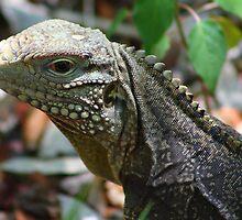 The Iguana   (Cuba)  by jdmphotography