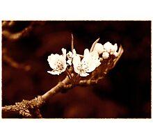 Vintage Bramley Blossom Photographic Print