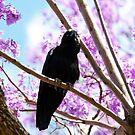 Raven in jacarandas by demistified