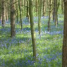Bluebell Profusion by Ann Garrett