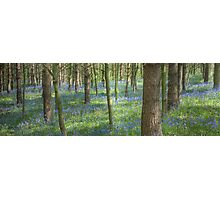 Bluebell Profusion Photographic Print