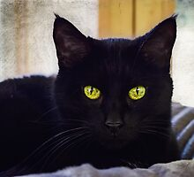 Beautiful Black Cat   by Peggy  Volunteer Photographer FOR RESCUE ANIMALS