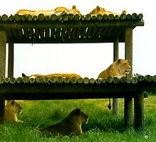 Lazing in the shade by Tom Gomez