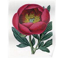 Paeonia lobato or Lobed Paeony Poster
