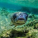 Inquisitive Puffer Fish (Tetraodontidae) by Deborah V Townsend