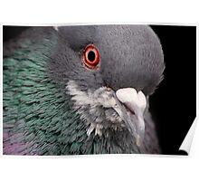 Pigeon Portrait Poster