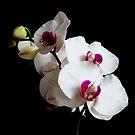 Orchid II by Janine  Hewlett