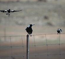 Peewees & Magpie, Avalon Airport, Victoria, Australia 2007 by muz2142