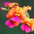 Flame Pea by Christopher Clarke