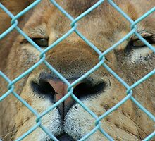 Caged Lion by amjaywed