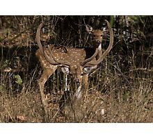 Spotted Deer In The Grass Photographic Print