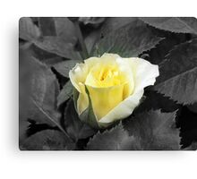 Rose of Friendship Canvas Print
