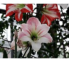 lily 13 Photographic Print