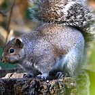 Chubby Squirrel... by RichImage