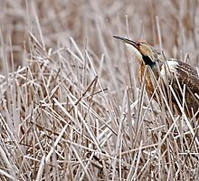 American Bittern by Heron-Images