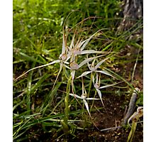Spider Orchids Ninghan Station Photographic Print