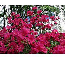 Flowering Bush Photographic Print