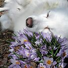 Sylvie with the first Crocus in March *featured by Jack McCabe