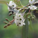 Eucalyptus Bush Flowers by aussiebushstick