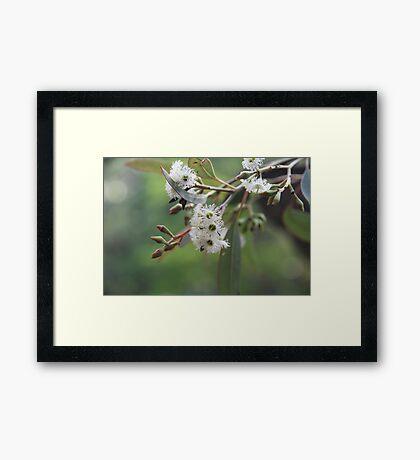 Eucalyptus Bush Flowers Framed Print