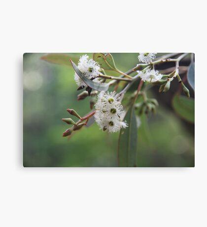 Eucalyptus Bush Flowers Canvas Print