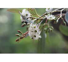 Eucalyptus Bush Flowers Photographic Print