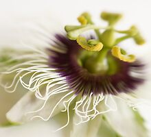 Passionflower by AnnieD