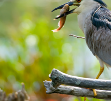 Black Crowned Night Heron Sticker