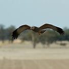 Spotted Harrier by Biggzie