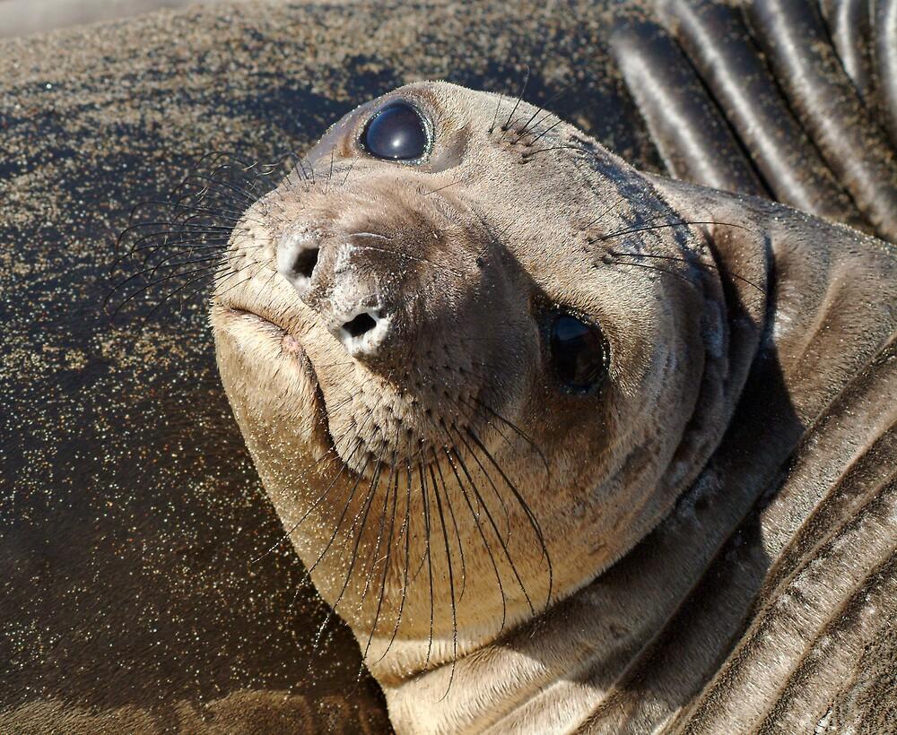 Northern  Elephant Seal pup by Eyal Nahmias
