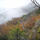 fagus covered hillsides with Hansons Peak shrouded in mist by gaylene