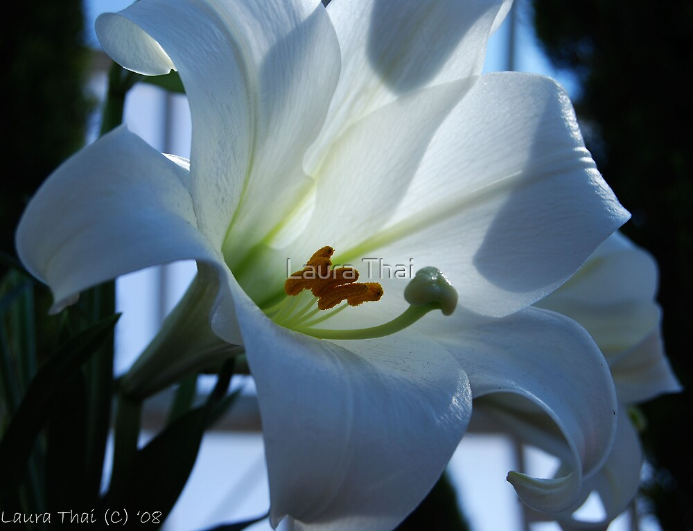 White lily by Laura Thai