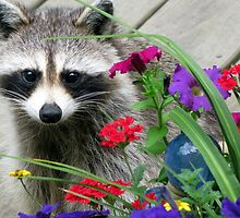 RACCOON Series 2 by Jean Gregory  Evans
