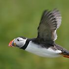 Puffin in flight by George Ledger