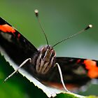 Red Admiral Butterfly by George Ledger